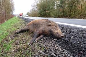 Wildunfall: Ein häufiger Vorfall auf Landstraßen.